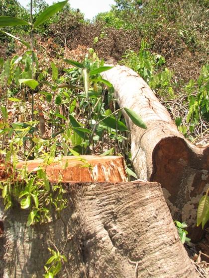Những cây có tuổi đời khá bị đốn hạ (Ảnh: Trần Minh).