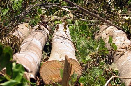 Nhiều diện tích rừng của Lâm trường Cô Ba bị tàn phá (Ảnh: Trần Minh).