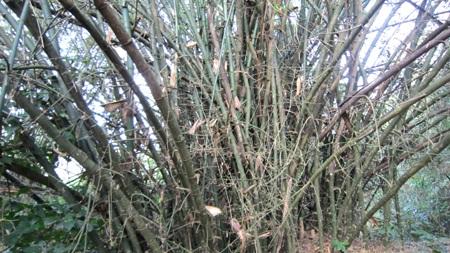 Vườn tre trên 40 năm của một lão nông huyện lúa Yên Thành trông coi.