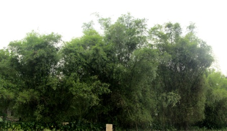 Rặng tre xanh ở xã Hưng Lam.