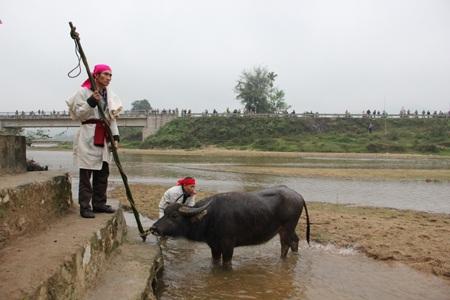 Trâu tế lễ được đưa xuống tắm ở bến sông Tà Tạo (bến Quan).