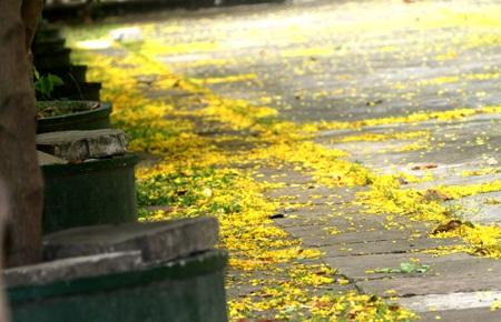 Những cánh hoa vàng Đọc Khun trải dưới nền sân chùa.