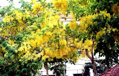 Mùa hoa Đọc Khun bung nở ở Viêng Chăn