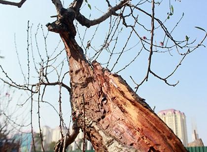 Một gốc đào lũa cổ có phần thân đã mục ruỗng nhưng vẫn sống rất khoẻ