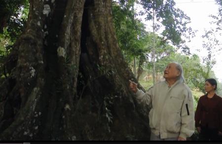 Ngắm cây thị ngàn năm tuổi gắn với sự tích cứu vua Lê Lợi