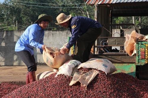 Nông dân đã đề cao, cảnh giác với nạn trộm cà phê