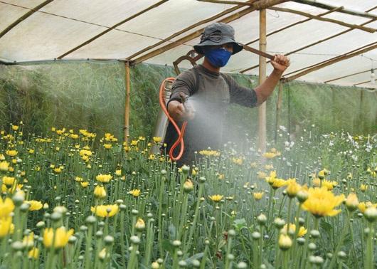 Nhiều nhà vườn phun thuốc để hoa nở đúng dịp tết và phòng tránh sâu bệnh