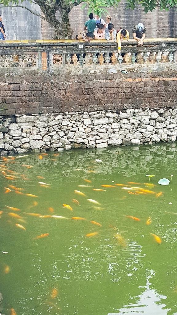 Đàn cá chép được nhân giống trong Đại Nội Huế rất thu hút du khách
