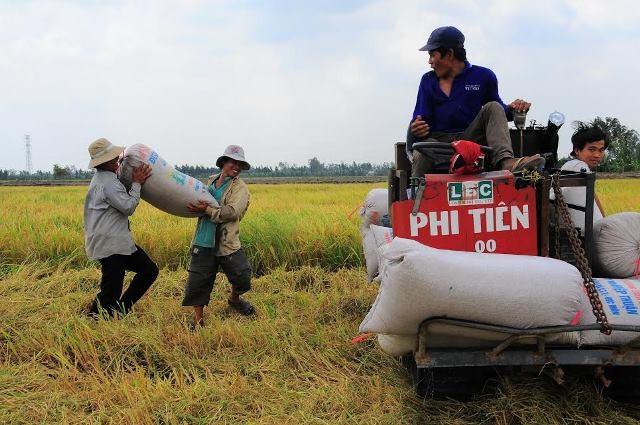 Giá lúa đang rớt do đầu ra gặp khó khăn
