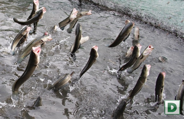 Cá lóc của gia đình anh Tín biết bay