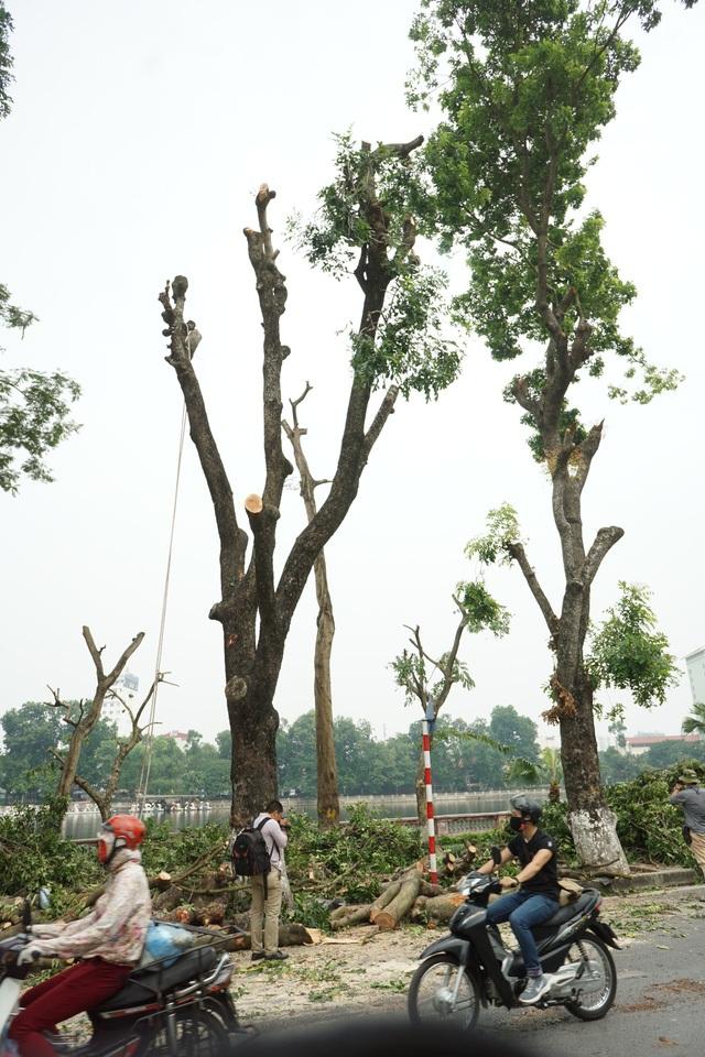 Sau thời gian bơm thuốc, kích thích bộ rễ hàng cây cổ thụ trên đường Kim Mã, sáng nay (11/10), hàng chục công nhân lại tiếp tục cắt tỉa di chuyển 106 cây xanh về trồng trong vườn ươm ở tỉnh Hưng Yên. (Ảnh: Hữu Nghị)
