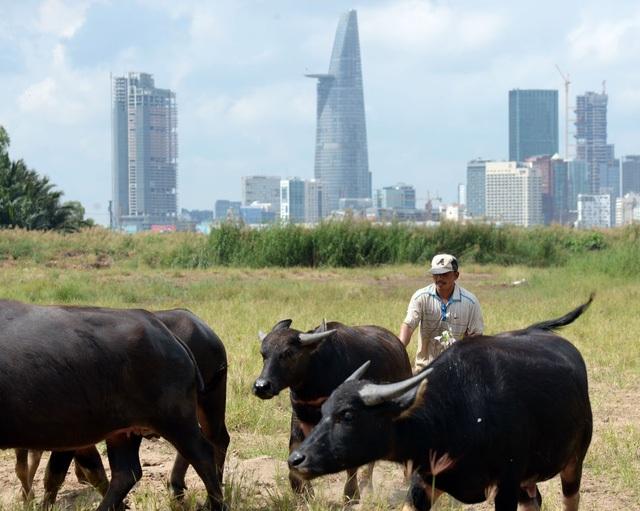 Không nhà cửa, cuộc sống của ông Văn Đức Tời (52 tuổi, quê tại Nghệ An) gắn liền với đàn trâu 30 con của mình từ nhiều năm nay. Trâu đi tới đâu, ông Tời theo tới đó. Nhiều người hay đùa khi nhắc tới ông, đây là tỷ phú không nhà cửa đầu tiên ở Sài Gòn. (Ảnh: Quang Nguyễn)