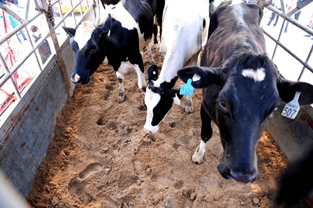 """Những """"cô bò"""" đầu tiên lên xe về trang trại mới của Vinamilk tại Thanh Hóa"""