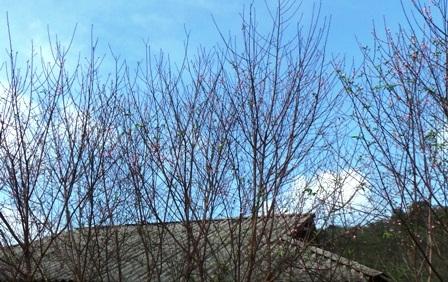 Hoa đào bung nở nơi Cao Sơn.