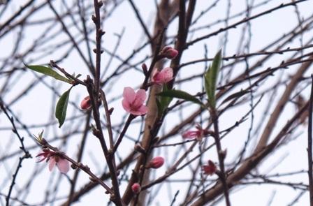 Đào bung nở trên những bản làng như mang mùa xuân đến sớm với bà con nơi đây.