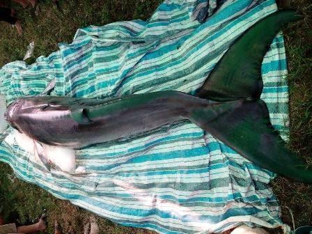 Con cá có trọng lượng khoảng 600kg.