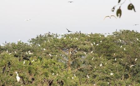 Hàng vạn con cò về khu vườn trú ngụ mỗi buổi chiều