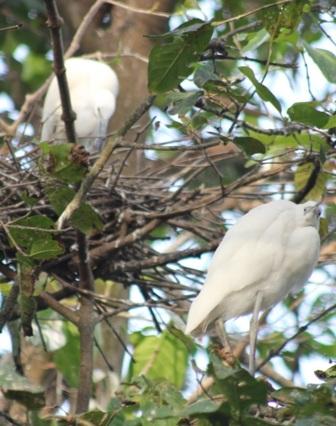 Đàn cò thong thả làm tổ, nghỉ ngơi trên cành cây