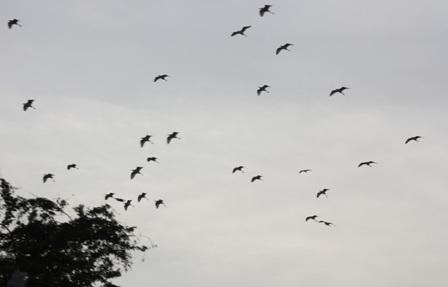 Càng về chiều, từng đàn cò đáp cánh về vườn cò Bằng Lăng trú ngụ