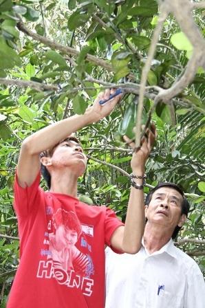 Nhà vườn tỉnh Vĩnh Long thu hoạch bưởi hình tay Phật