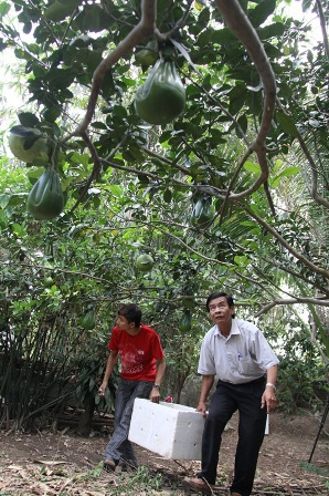 Nhà vườn vùng sông nước Cửu Long trồng bưởi hình tay Phật