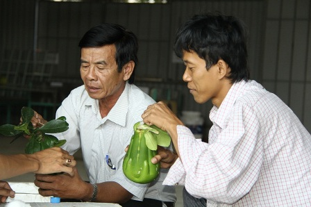 Sau khi thu hoạch bưởi sẽ được đóng thùng chuyển thẳng ra Hà Nội
