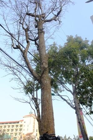 Lão mai cao hơn cả cây xanh ở lề đường