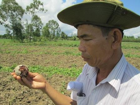 Nông dân đang điêu đứng vì dịch bệnh, giá cả khoai lang xuống thấp