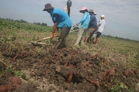 Một số ruộng khoai lang khi thu hoạch củ bị sâu phá hoại chiếm hơn 50% sản lượng