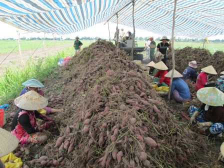 Giá khoai lang giảm khiến nông dân thua lỗ