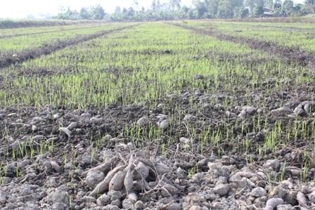 Một số ruộng khoai lang đã được chuyển sang trồng lúa