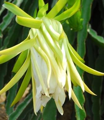 Nhiều người lo ngại việc thu mua hoa có thể làm giảm năng suất của thanh long