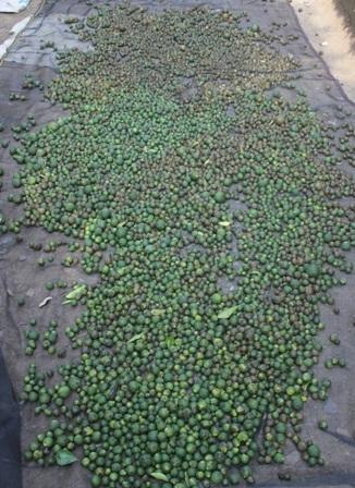 Những quả cam rụng bé xíu cũng được thương lái thu mua