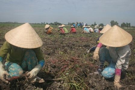 Nông dân trồng khoai lang tím Nhật ở Vĩnh Long đang bị thua lỗ nặng