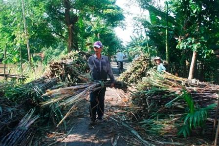Nông dân ĐBSCL thu hoạch mía