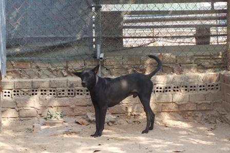 Chó Phú Quốc ngực nở, bụng thon, tai và mõm dài
