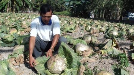 Giá bắp cải rẻ, nông dân không buồn thu hoạch mà để chết khô trên ruộng