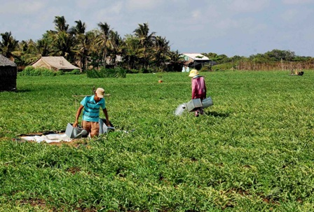Gia đình chị Nguyễn Thị Tính đang chăm sóc dưa hấu