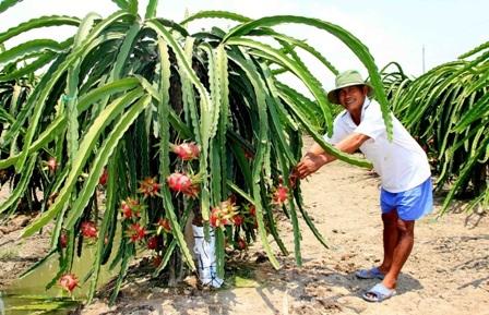 Ông Lê Văn Lành ở xã Quơn Long quyết định chuyển 3000m2 sang trồng thanh long