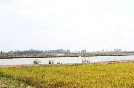 Nông dân xã Phú Thành B, Tam Nông nuôi tôm thẻ chân trắng ngay bên ruộng lúa