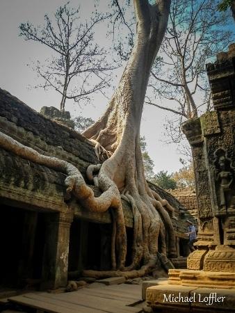 Cây cổ thụ tại Campuchia