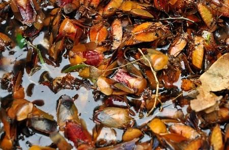 Mùa nhãn, món bọ xít soán ngôi bọ cạp