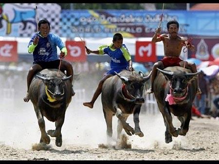 Với người dân Thái Lan, con trâu vừa quen thuộc vừa quan trọng trong cuộc sống