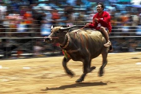 Lễ hội đua trâu ở tỉnh Choburi là một trong những ngày hội lâu đời ở Thái