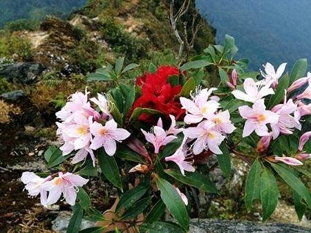 Nét duyên ngầm của những cánh hoa đỗ quyên