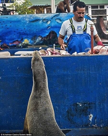 Người dân địa phương cho biết, sư tử biển thường xuyên lên bờ để xin cá