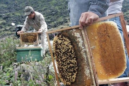 Mùa ong trên miền cao nguyên đá