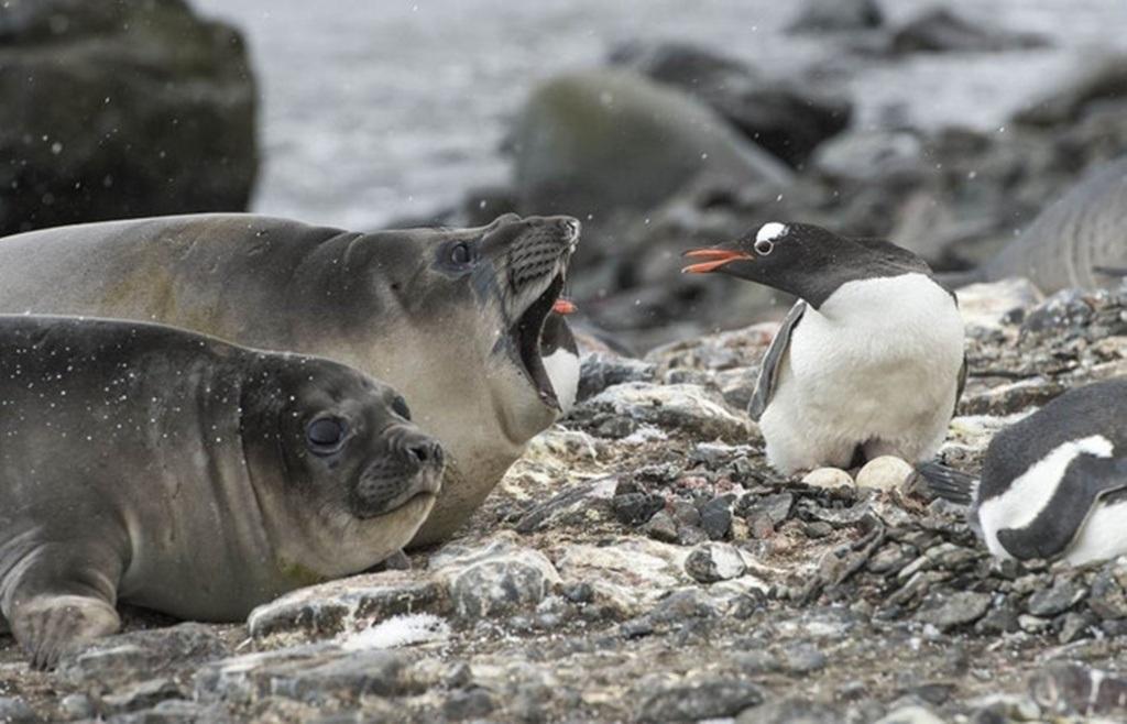 """Bầy chim cánh cụt đang nghỉ ngơi bên biển thì xuất hiện """"hai vị khách không mời"""""""
