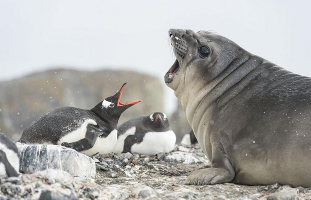 Hải cẩu voi có kích thước lớn hơn hẳn chim cánh cụt