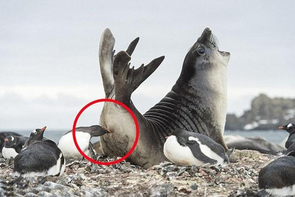 Cú đòn có vẻ khá mạnh khiến hải cẩu voi kêu lên đau đớn